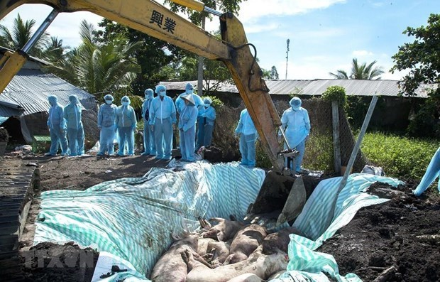 Hanoi culls thousands of pigs due to African swine fever