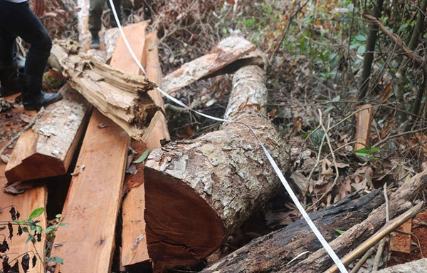 Bac Kan to prosecute deforestation culprits
