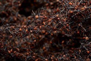 Khả năng tàn sát đáng sợ của kiến 'quân đội'