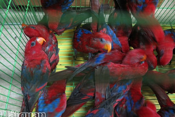 Hundreds of smuggled Red lory parrots found at Noi Bai Airport
