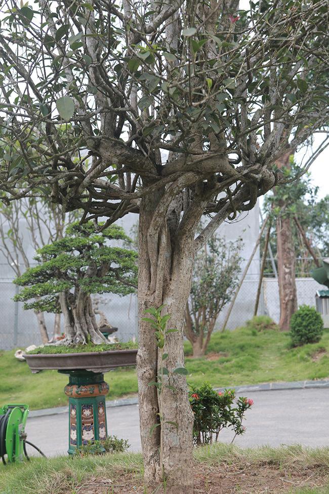 cây cảnh,mộc hương,cây cảnh tiền tỷ
