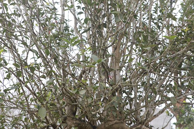 Đôi mộc hương nhìn như cây dại lại đắt không tưởng