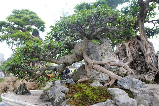 cây si,bonsai,cây cảnh