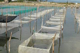 New sandfish farming model to be replicated