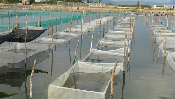 New sandfish farming model to be replicated