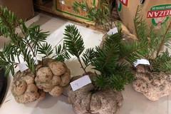 Một cây nấm giá 10 triệu, hội nhà giàu Việt tranh nhau mua