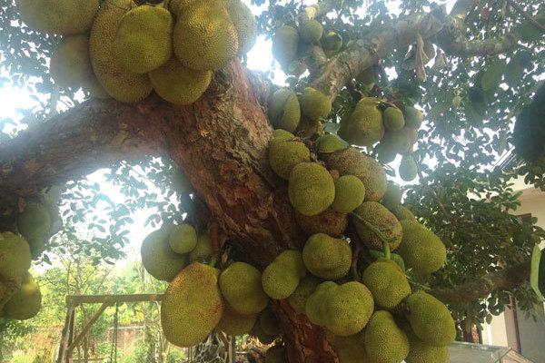 Kỳ lạ cây 'mắn đẻ': Mít hơn trăm quả, buồng chuối hơn 100 nải