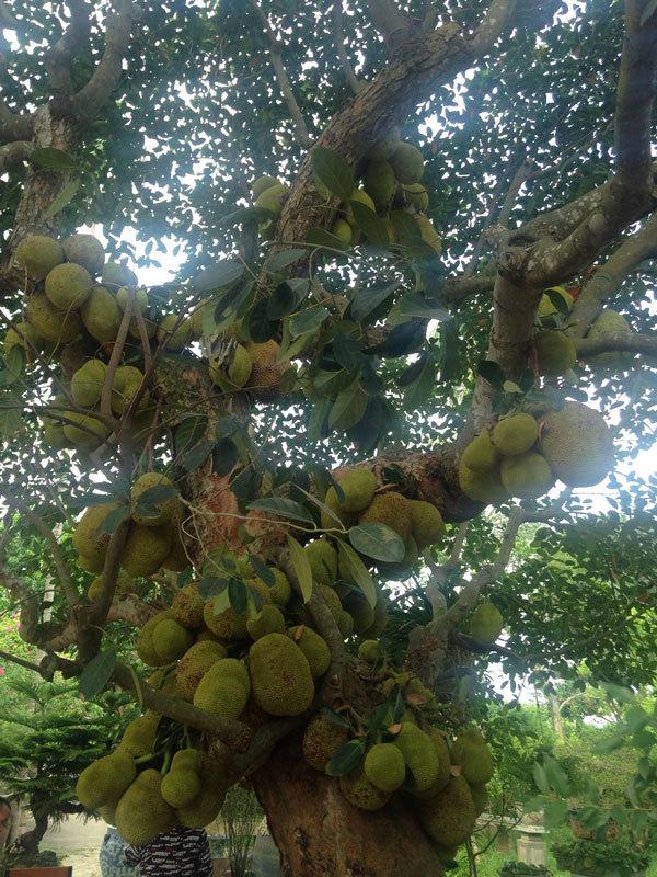 cây cổ thụ,cây cảnh,cây mít,tôm tít,hoa quả độc lạ