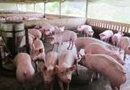 Pork imports spike, Vietnam's livestock industry under pressure