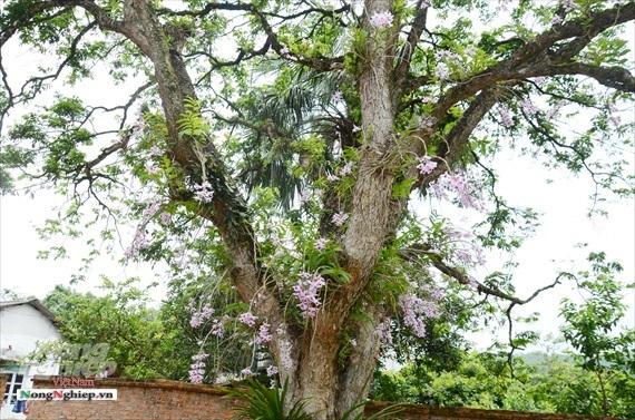 Vườn lan phi điệp tím cổ thụ tiền tỷ nghìn vòi bung nở ở Tuyên Quang
