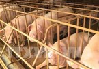 African swine fever breaks out in 60 provinces, cities