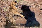 Gấu mẹ tả xung hữu đột đánh đuổi chúa sơn lâm cứu con