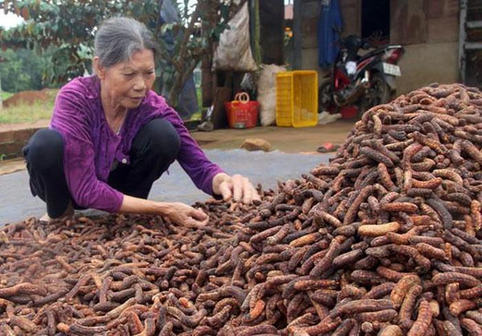 Săn chuối hột rừng đại bổ - nghề phụ thu 100 triệu đồng/năm