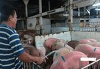 ASF hits largest-ever pig farm in Dong Nai
