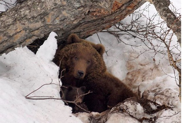 gấu xám,thú ăn thịt,con mồi,4