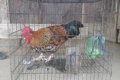 Lạ Sơn La, đang gà mái bỗng nhiên 'chuyển giới' thành gà trống