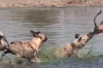 Vừa thoát hàm cá sấu, linh dương bị bầy sói cắn xé đến chết