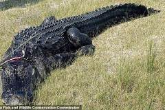 Tìm thấy thi thể người trong bụng cá sấu