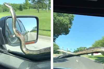 Đang chạy xe, suýt ngất thấy rắn bò ngoe nguẩy bên gương chiếu hậu