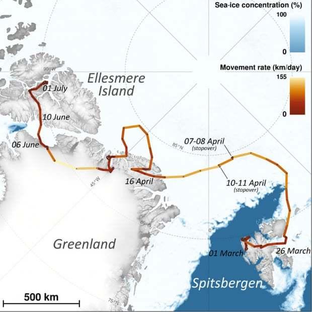 Chú cáo Bắc Cực đi bộ hàng nghìn km từ Na Uy sang Canada