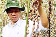 Precious ginseng found in Quang Nam