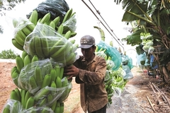 Vietnam's banana exports go up, join $17 billion glass bam market