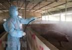 Vietnam develops anti-African swine fever vaccine