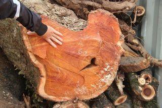Vì sao phiên đấu giá lô gỗ sưa 'trăm tỷ' ở Hà Nội dừng phút chót?