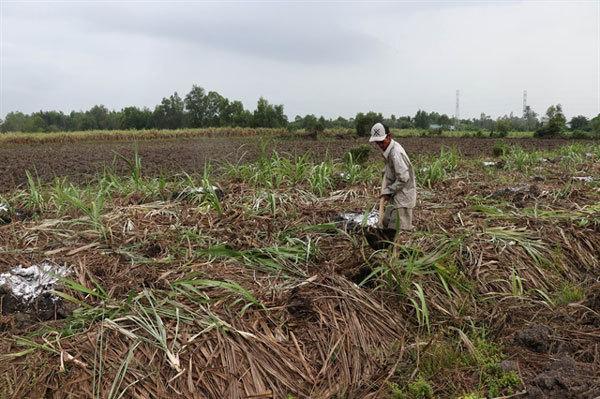 Mekong Delta sugarcane farmers switch en masse to other crops
