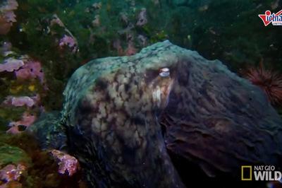 Bạch tuộc khổng lồ dùng xúc tu giết chết cá mập trong nháy mắt