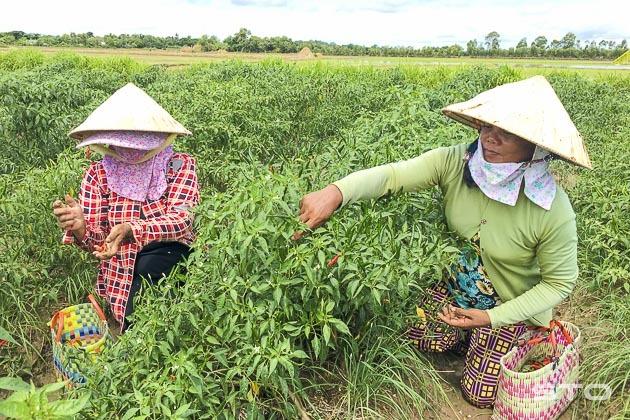 trồng ớt,thương lái,nông sản Việt
