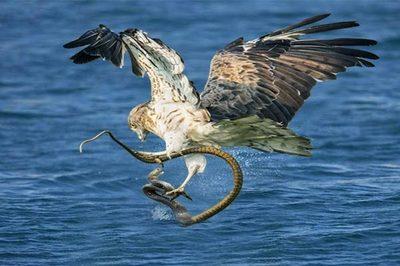 Xem rắn biển tử chiến với đại bàng