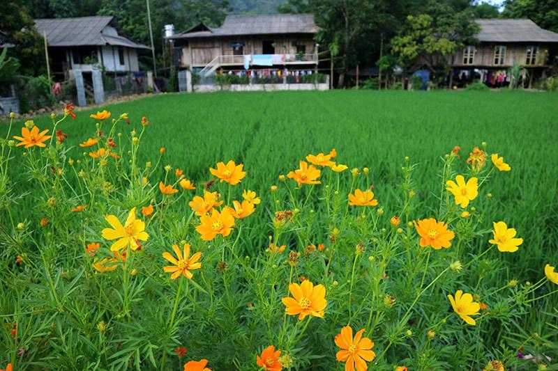 Đẹp nao lòng những con đường rực rỡ sắc hoa ở Yên Bái