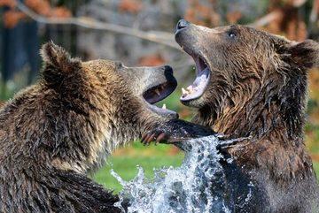 Cuộc đại chiến nảy lửa giữa cặp gấu rừng hung tợn