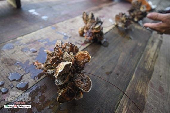 đặc sản biển,hàu,hải sản đắt đỏ,nuôi hàu