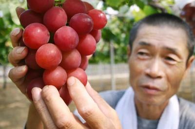 Hơn 10 triệu/quả, người có tầm ăn quả nho đắt nhất thế giới
