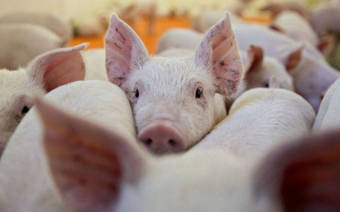Further African swine fever outbreaks detected throughout Vietnam