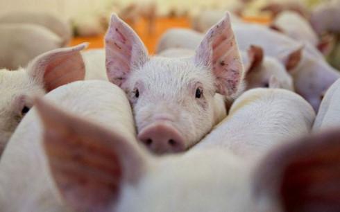 African swine fever,social news,english news,Vietnam news,vietnamnet news,Vietnam latest news,Vietnam breaking news