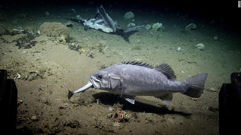 Đang xâu xé con mồi, cá mập bất ngờ bị nuốt chửng