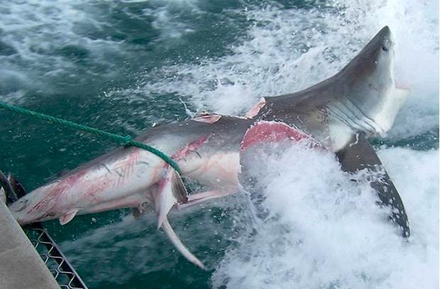 Xem cá mập trắng khổng lồ đại chiến