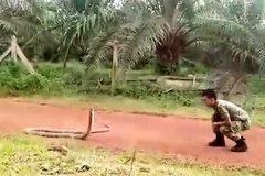 Lính Malaysia trổ tài tay không bắt rắn hổ mang chúa