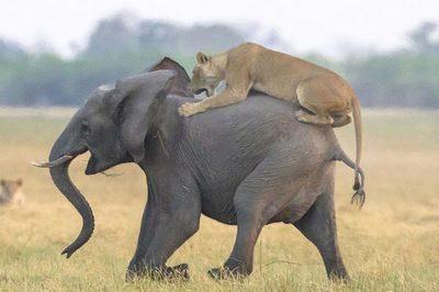 Sư tử bị rượt đuổi tóe khói khi khiêu chiến voi rừng
