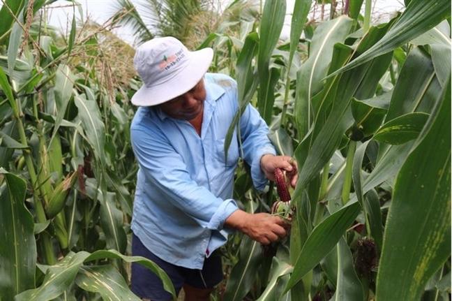 ngô,biến đổi gen,cây trồng biển đổi gen,nông nghiệp hữu cơ
