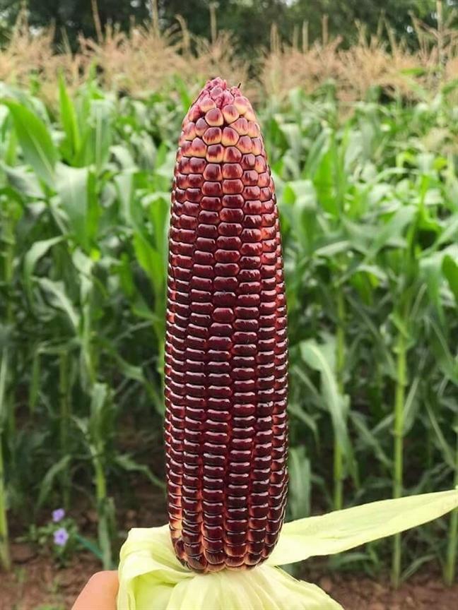 Loại bắp gây 'sốt' vì có màu đỏ sẫm, ăn sống được