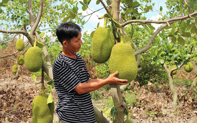 Unplanned Thai jackfruit farming pose risks