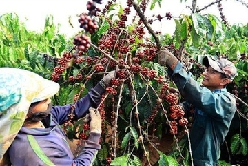 Vietnam coffee exports plummet as robusta prices fall
