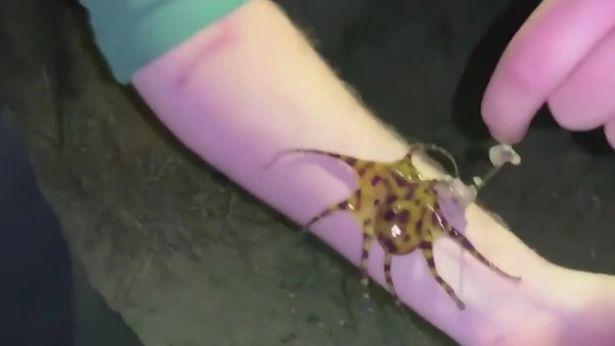 Động vật,bạch tuộc,bạch tuộc đốm xanh,Australia,Anh,Ireland,phượt thủ,đùa giỡn,nọc độc,động vật