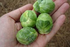 Bắp cải kỳ lạ, luộc nguyên cây mỗi bữa ăn hết 20 bắp
