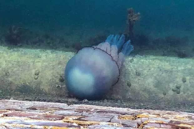 sứa khổng lồ,sứa thùng,Anh