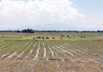 Ninh Thuan farmers lack water, leave 1,500ha of paddies fallow